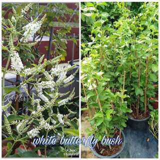 Pokok white butterfly bush