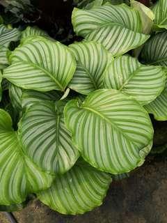 Calathea orbifolia 1.5 feet