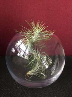 (Dragonball)airplant in a ball shape pot