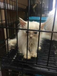 Kucing Persia 2 Bln, Super Long Hair, Cantik, Sehat, Manja
