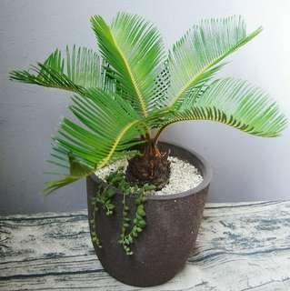 華南蘇鐵 盆景 大盆 35cm(H)Queen Sago Palm Tree (Cycas Rumphii)風水樹 室內植物 Indoor Plant Bonsai 盆栽