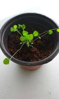 Clover Plant Shamrock White Clover