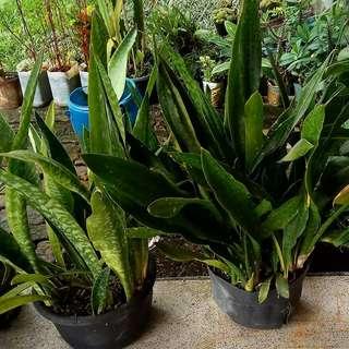 sanseveira lidah mertua  Jual aneka tanaman hias : anthurium, sanseveira, anggrek, palem dll  Jl sekolah rumbai pekanbaru riau tanamanhiasibu.blogspot.com WA 08111774307