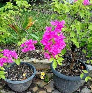 Bunga bougenville  Jual aneka tanaman hias : anthurium, sanseveira, anggrek, palem dll  Jl sekolah rumbai pekanbaru riau tanamanhiasibu.blogspot.com WA 08111774307