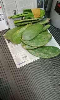 Kaktus centong opuntia