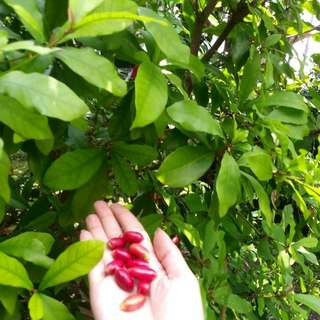 Bibit miracle fruit / buah ajaib