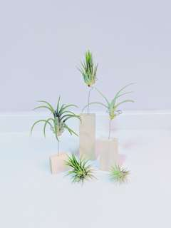 Wooden Air Plant Holder (3 Sizes)