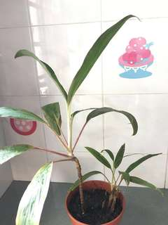 Hawaiian Ti Plant