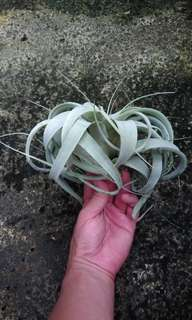 Air plants xenographical king of forest