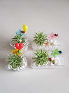 Air Plant for father's day gift!