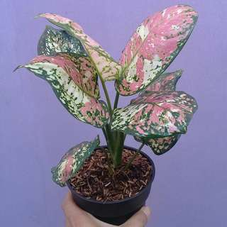 Jual Tanaman Hias Aglaonema Tree color