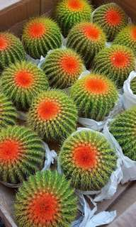FOR SALE!! Chinese barrel cactus