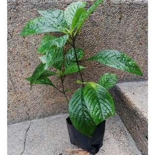Pecah Beling Reputed Plant For Anti-Cancer (Strobilanthes crispus)