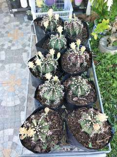 FOR SALE!! Gymnocalycium mihanovichii
