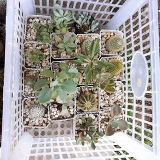 FOR SALE!! Cactus and succulent with white pot