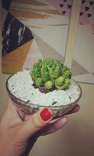 Benguet Cactus