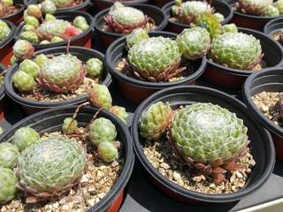 Succulent! Sempervivum Arachnoideum