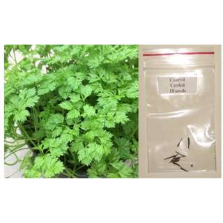 Curled Chervil Herb Seeds (French Parsley)