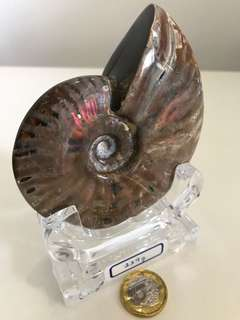 Powerful Ammonite from Canada