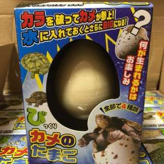 日本原裝正版遇水破殼小烏龜 24-72 小時孵化 (買3送1)活動教學