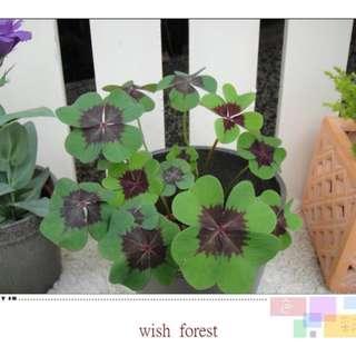 🚚 WISH FOREST【幸運。紫心綠葉幸運草】。都是四葉的~幸運植栽