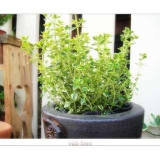 🚚 WISH FOREST【嚴選植栽。香草。檸檬百里香】信手捻來就是檸檬香味~