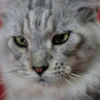 SEMI HIBAH Kucing Maine Coon Pedigree