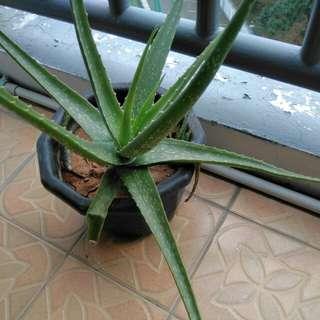 aleovera plant