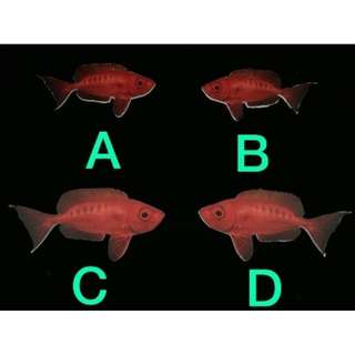 (Rent) Red Decoration Fish Die Cut