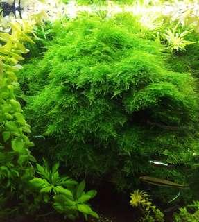 Shrimps Tank Christmas Moss