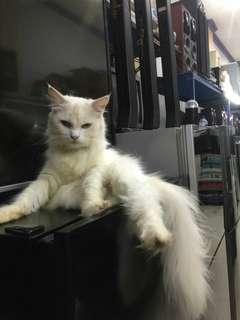 Kucing Persia Betina 1,5 Thn, Lengkap Buku Vaksin, Bonus Pacak
