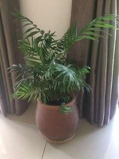 Indoor Plant in Pot