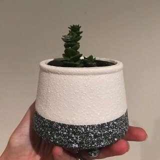The succulent in pot