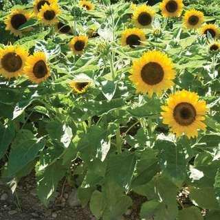 *new . flower seed . sunflower big smile