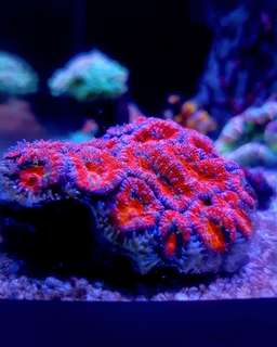 Ultra Acan red and blue coral