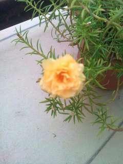 Ros Jepun KUNING (Japanese Moss Rose)