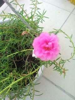 Ros Jepun PINK (Japanese Moss Rose)