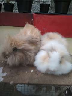 jual CEPAT kelinci sepasang jantan betina usia 6 bln