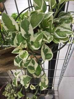 Batik Money plant in poly bag