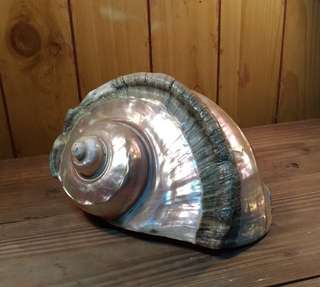 海螺貝殼—水族擺飾收藏
