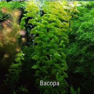 Aquatic Plants Bacopa Caroliniana (Uncommon)