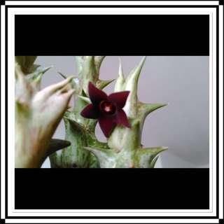 Cactus - Huernia