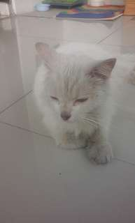 Kucing persia 350rb