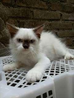Kucing persia himalaya mata biru