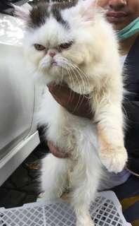 Kucing Peaknose Jantan White