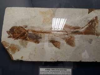 Fossil of Chinese sturgeon