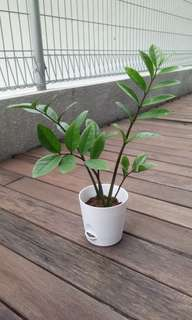 Zyzy plant, indoors. Little care needed, grows well with mimimal sunlight