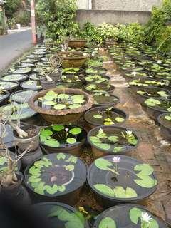 Menjual tanaman teratai air.