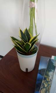 Self watering sanseveria, snake plant. Easy to care for, water once a week by toping up the container. Rated top air cleaning by NASA. Good for indoors. Top quality pot