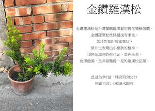 心栽花坊-金鑽羅漢松/5吋/綠化植物/松杉柏檜/售價150特價120